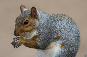 Cute Grey Squirrelの写真素材 [FYI00744737]
