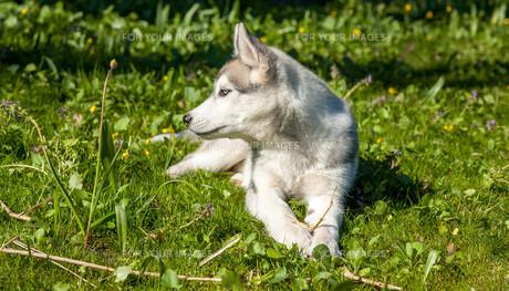 Portrait of puppy Siberian Huskyの写真素材 [FYI00744811]