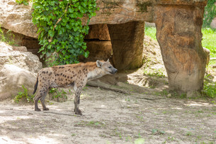 Hyena wandering in zooの写真素材 [FYI00744904]