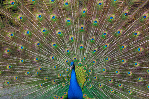 Peacock with multicolored feathersの写真素材 [FYI00744907]