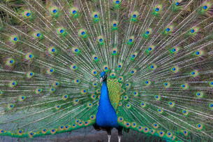 Peacock with multicolored feathersの写真素材 [FYI00744915]