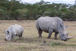 Safari - rhinosの写真素材 [FYI00745008]