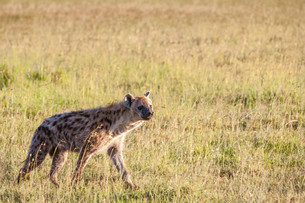 Hyena wandering the plains of Kenyaの写真素材 [FYI00745009]