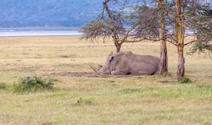 Safari - rhinoの写真素材 [FYI00745014]