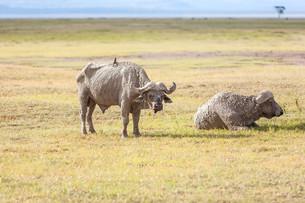 Safari - two  rhinoの写真素材 [FYI00745018]