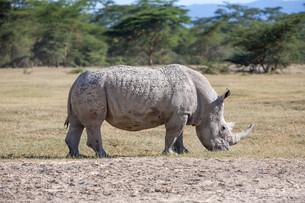 Safari - rhinoの写真素材 [FYI00745030]