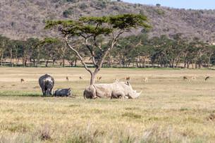 Safari - rhinosの写真素材 [FYI00745034]