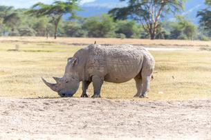 Safari - rhinoの写真素材 [FYI00745035]