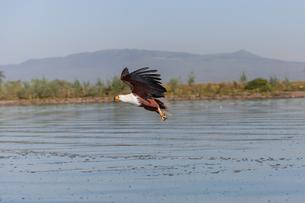 hawk flying over the waterの写真素材 [FYI00745039]