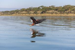 hawk flying over the waterの写真素材 [FYI00745042]