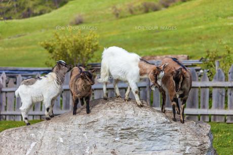 goatの素材 [FYI00745302]