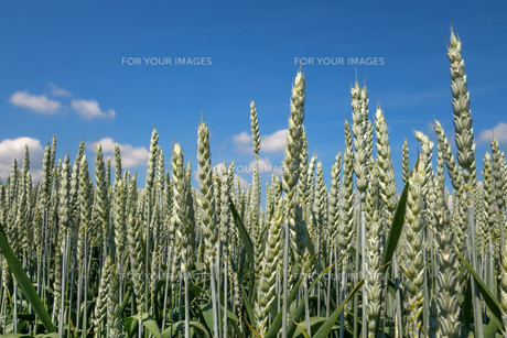 green,strong,tightly-packed ears of wheat in close upの写真素材 [FYI00745584]