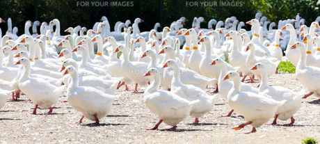 goose farm, Czech Republicの写真素材 [FYI00746031]