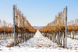 winter vineyard, Southern Moravia, Czech Republicの写真素材 [FYI00746034]