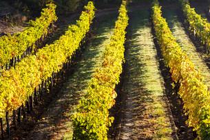 autumnal vineyard, Lower Austria, Austriaの写真素材 [FYI00746043]