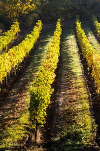 autumnal vineyard, Lower Austria, Austriaの写真素材 [FYI00746048]