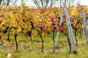 blue grapes in vineyard near Palava, Southern Moravia, Czech Republicの写真素材 [FYI00746054]