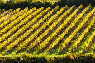 autumnal vineyard near Falkenstein, Lower Austria, Austriaの写真素材 [FYI00746055]
