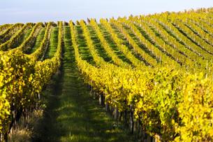 autumnal vineyard, Modre Hory, Czech Republicの写真素材 [FYI00746058]