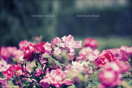 plants_flowersの素材 [FYI00746856]