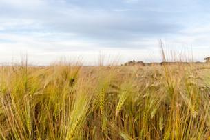 Young wheat growing in green farm fieldの写真素材 [FYI00746952]