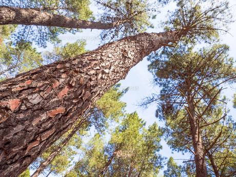 cortex pine close upの素材 [FYI00747734]