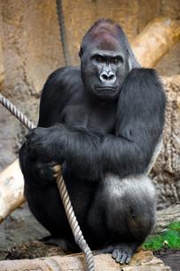 he calls the shots: white gorillaの素材 [FYI00747856]