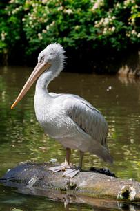 pelican portraitの素材 [FYI00748149]