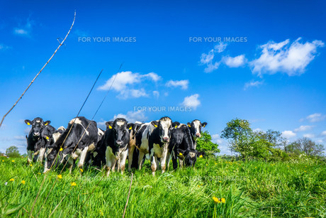 Cows grazing on a fieldの写真素材 [FYI00748397]