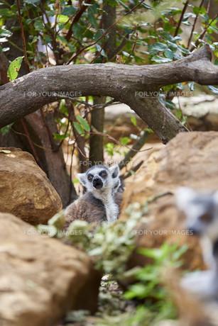 Lemurの素材 [FYI00748453]