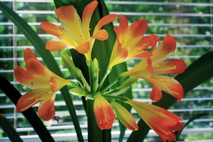 Blooming Amaryllis against the window to the garden.の素材 [FYI00748545]