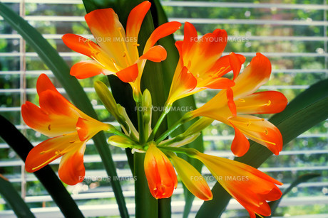 Blooming Amaryllis against the window to the garden.の素材 [FYI00748546]