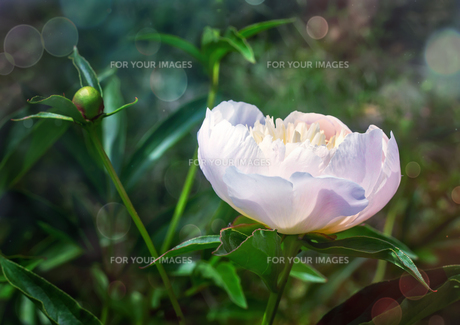 Blossoming white peony among green leavesの写真素材 [FYI00748561]