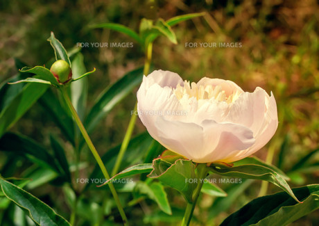 Blossoming white peony among green leavesの写真素材 [FYI00748562]