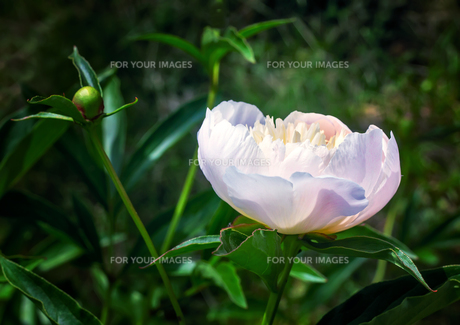 Blossoming white peony among green leavesの写真素材 [FYI00748568]