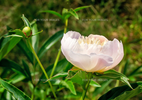 Blossoming white peony among green leavesの写真素材 [FYI00748571]