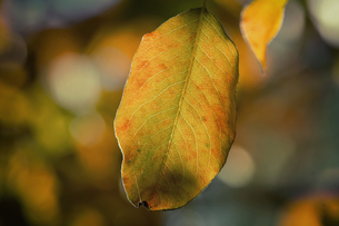 The first yellow leaf on the branches of birchの写真素材 [FYI00748581]