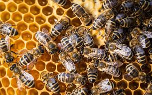 Macro shot of bees swarming on a honeycombの写真素材 [FYI00749129]