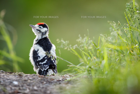 Young Great Spotted Woodpecker on the ground right after leaving the nest, looking around, pondering the question of flyingの素材 [FYI00749181]