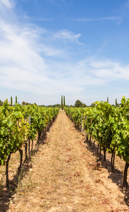 Provence vineyardの写真素材 [FYI00749259]