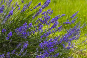 lavenderの写真素材 [FYI00749588]