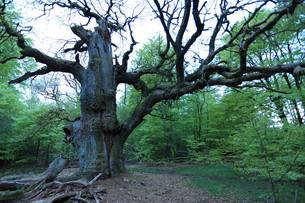 old oaks in reinhardswaldの素材 [FYI00750146]
