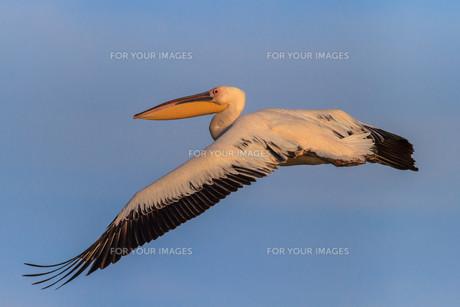 white pelican (pelecanus onocrotalus)の写真素材 [FYI00750457]