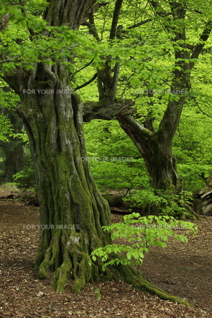 trees_forestsの素材 [FYI00750459]