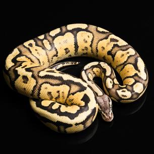 Female Ball Python. Firefly Morph or Mutationの写真素材 [FYI00750717]