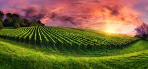 vineyard panorama at magnificent sunsetの写真素材 [FYI00750719]