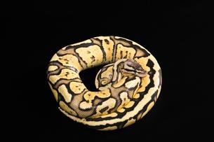 Female Ball Pythonの写真素材 [FYI00750721]