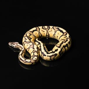 Female Ball Python. Firefly Morph or Mutationの写真素材 [FYI00750722]