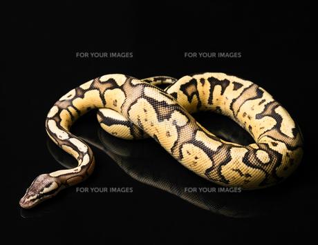Female Ball Python. Firefly Morph or Mutationの写真素材 [FYI00750726]