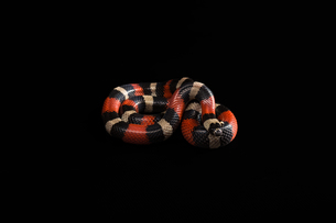 Pueblan milk snakeの写真素材 [FYI00750729]